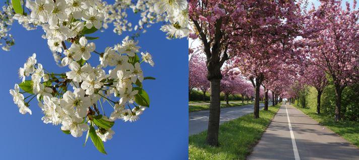 Kirschbaum, Kirschblüten, schöner Baum, Zierbaum, Zierbäume