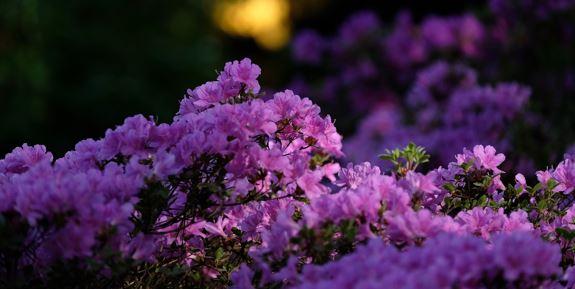 Rhododendren, Zierbaum, Zierbäume