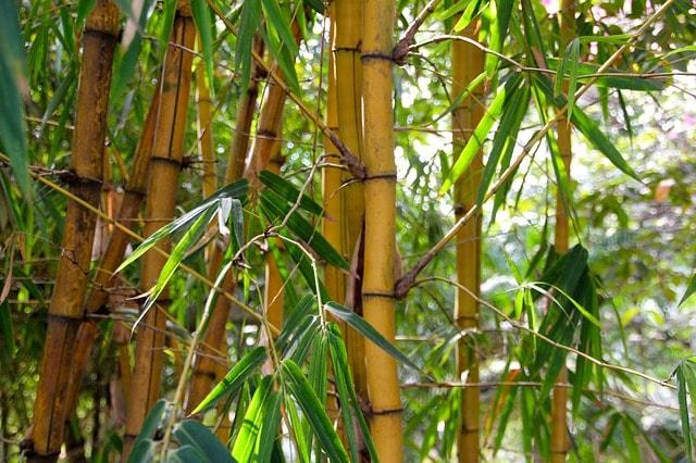 Bambus Das Müssen Sie Wissen Liebe Zum Garten